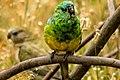 Psephotus haematonotus -Yarra Bend Park, Melbourne, Australia -male-8 (2).jpg