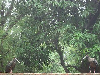 Pseudibis papillosa pair, on a wall in Ahmedabad, India.jpg