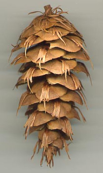 Pseudotsuga menziesii var. menziesii - Coast Douglas-fir cone, from a tree grown from seed collected by David Douglas. Note the thin 3 fingered bracts .
