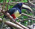 Pteroglossus aracari -Discovery Cove -USA-6.jpg