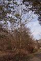 Pterosyrax corymbosus hiver.jpg