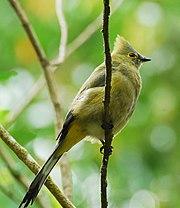 Ptilogonys caudatus