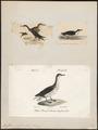 Puffinus anglorum - 1700-1880 - Print - Iconographia Zoologica - Special Collections University of Amsterdam - UBA01 IZ17900017.tif