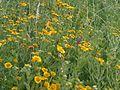 Pulicaria dysenterica - wetland 2.jpg