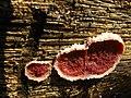 Punctularia strigoso-zonata 63354.jpg