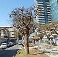Purim Monring, Rothschild Boulevard P1130255.JPG