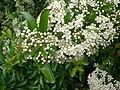 Pyracantha coccinea flowers.jpg