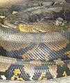 Python reticulatus сетчатый питон-1.jpg