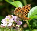 Queen of Spain Fritillary (Issoria lathonia) - Flickr - gailhampshire (1).jpg