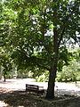 Quercus Cerris - Israel.JPG