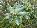 Quercus agrifolia - McConnell Arboretum & Botanical Gardens - DSC02997.JPG