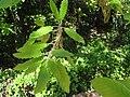 Quercus canariensis2.JPG