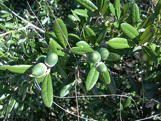 <i>Quercus geminata</i> species of plant