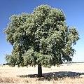 Quercus ilex rotundifolia.jpg