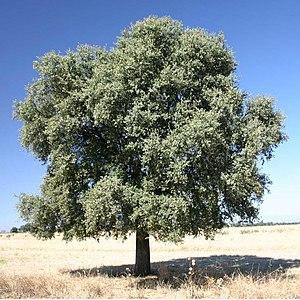 Fagaceae - Holm oak (Quercus ilex subsp. rotundifolia)