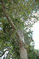 Quercus pagoda (23888112250).jpg