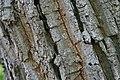 Quercus prinus 16zz.jpg