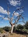 Quercus pyrenaica 20150813a.jpg