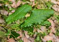 Quercus rugosa in Hackfalls Arboretum (2).jpg