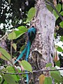 Quetzal entering nest.jpg