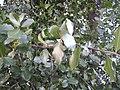 Quillaja saponaira leaves 1 - FracGuy.jpg