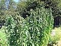Quinoa (11446070954).jpg