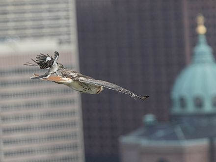 A red-tailed hawk is mobbed by a northern mockingbird in the urban environment of Philadelphia, Pennsylvania. RTH-and-Mock-Chase-Wiki.jpg
