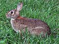 Rabbit in spring grass.jpg