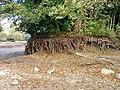 Racines sous la Petite Île de Godinne.jpg