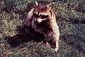Racoon usually transfer Rabies Virus.jpg