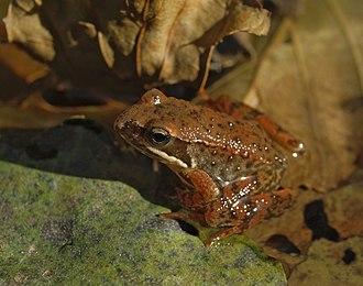 Aizkorri-Aratz Natural Park - Iberian Frog
