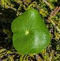 Ranunculus lyallii in Fiordland National Park 07.jpg