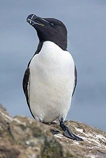 Razorbill Species of seabird
