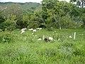 Rebaño de cabras.jpg