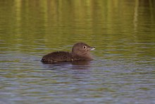 Dark grey fuzzy-looking chick floats on water.