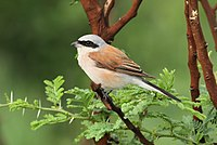 Red-backed shrike, Lanius collurio at at Pilanesberg National Park, Northwest Province, South Africa - male (17020856171).jpg