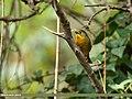 Red-billed Leiothrix (Leiothrix lutea) (38929298094).jpg