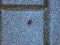 Red-black insect on concrete cobblestone.jpg