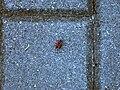 Red-black insect on concrete cobblestone.jpg