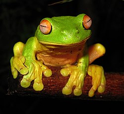 Red-eyed Tree Frog - Litoria chloris edit1.jpg