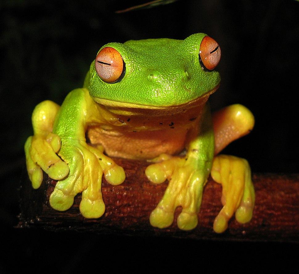 Red-eyed Tree Frog - Litoria chloris edit1