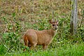 Red Brocket (Mazama americana) stag (29003666002).jpg