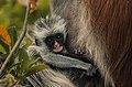Red Colobus monkey,Zanzibar 2.jpg