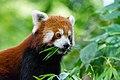 Red Panda (23648045368).jpg