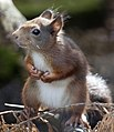 Red Squirrel 2 (4996442852).jpg