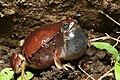 Red narrow -mouthed frog -Microhyla rubra.jpg