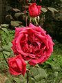Red rose Namarestagh.jpg