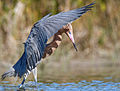 Reddish-egret-13.jpg