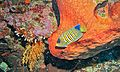Regal Angelfish (Pygoplites diacanthus) (6052667657).jpg
