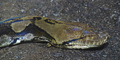 Reticulated Python 01 brighter.jpg